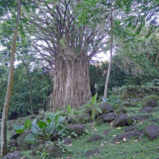 A sacred Banyan tree with Taro plants in the foreground.