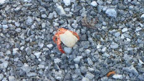 Thousands of these hermit crabs on the motu, ranging in size from smaller than your little fingernail to about as big as your clenched fist.