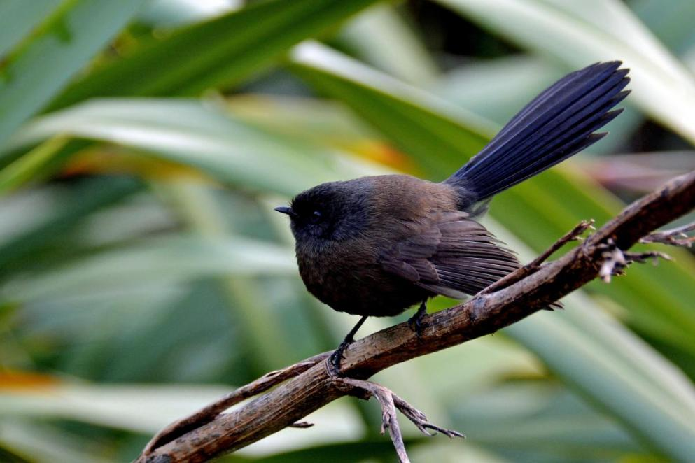 new-zealand-fantail